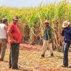 Zuckerrohrernte bei Colon - auf dem Weg von Havanna nach Cienfuegos, Cuba